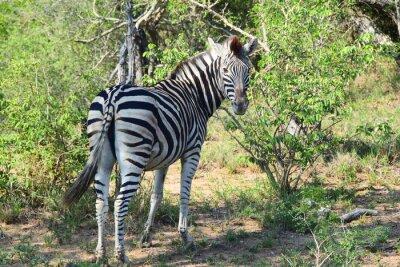Carta da parati Zebra in Africa Looking Back