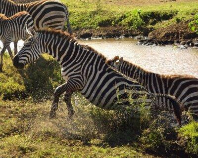 Carta da parati Zebra un Sair da Água