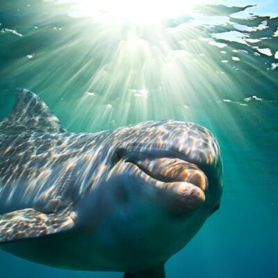 Poster A dolphin underwater with sunbeams. Closeup portrait