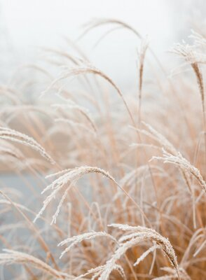 Poster Abstract natural background of soft plants Cortaderia selloana. Frosted pampas grass on a blurry bokeh, Dry reeds boho style. Patterns on the first ice. Earth watching