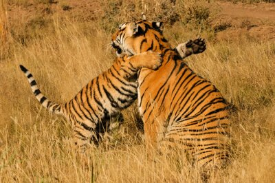 Poster An affectionate moment between a Bengal Tiger and her cub