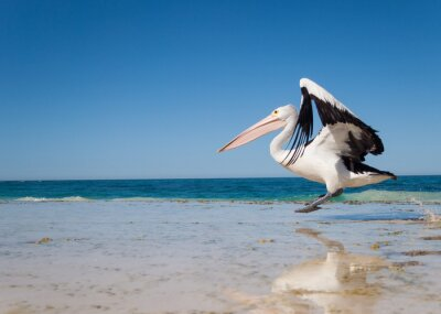 Poster Australia, Yanchep Laguna, 2013/04/18, Pellicano australiano decollare in volo da una spiaggia australiana