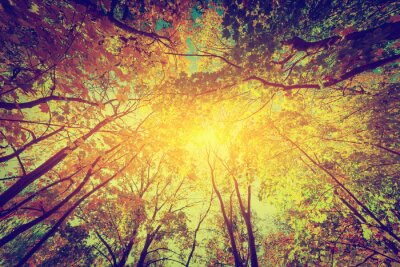 Poster Autunno, cadono alberi. Sole che splende attraverso le foglie colorate. Annata