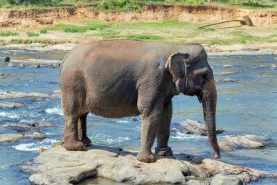 Poster Bagno Elefante nel fiume Sri Lanka