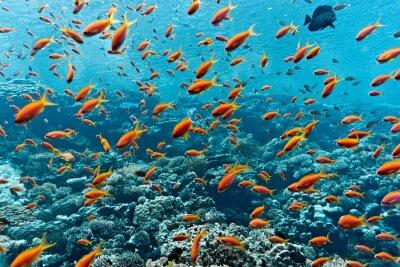 Poster Banco dei pesci anthias sulla barriera corallina
