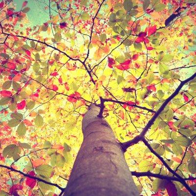 Poster Bella annata autunno sole stagionale splende attraverso il faggio foglie colorate albero. Look-up per la corona di alberi di autunno di sole.