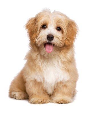 Poster Bella cane felice cucciolo havanese rossastro è seduto frontale