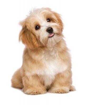 Poster Bella seduta cucciolo di cane havanese rossastro è alla ricerca verso l'alto
