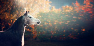 Poster bellissimo cavallo arabo con la testa bianca su sfondo meraviglioso della natura