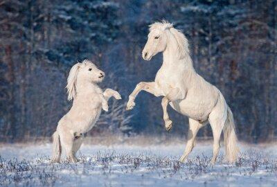 Poster Bellissimo stallone andaluso bianco gioca con il piccolo pony shetland in inverno