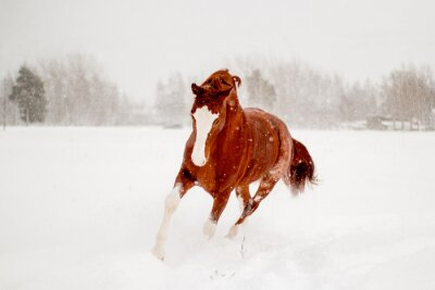 Poster Bello cavallo di castagno in esecuzione in campo di neve gratis