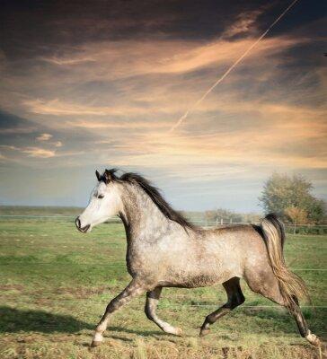 Poster bello cavallo grigio stallone in esecuzione a piede libero su sfondo pascolo