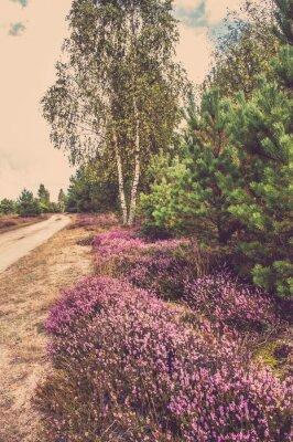Poster Bello paesaggio della foresta con fioritura di erica dalla strada rurale