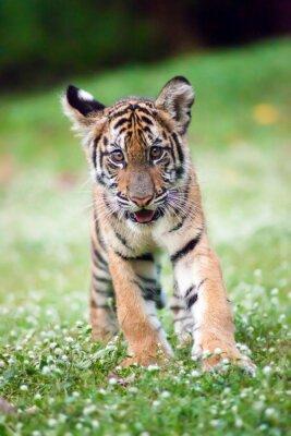 Poster Bengala bambino tigre sta camminando in un prato.