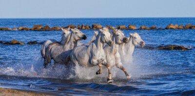 Poster Bianchi Camargue cavalli al galoppo lungo la spiaggia del mare. Parc Regional de Camargue. Francia. Provenza. Un ottimo illustrazione
