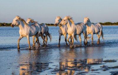 Poster Bianchi Camargue cavalli correre nella riserva paludi natura. Parc Regional de Camargue. Francia. Provenza. Un ottimo illustrazione