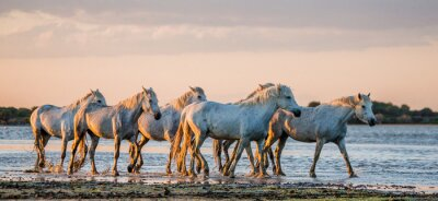 Poster Bianchi Camargue cavalli stand nella riserva paludi natura. Parc Regional de Camargue. Francia. Provenza. Un ottimo illustrazione