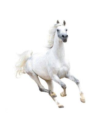 Poster bianco cavallo arabo isolato su bianco