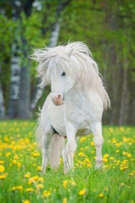 Poster Bianco Shetland pony con bella criniera lunga esecuzione sul campo con i denti di leone