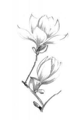 Poster Black-white illustration with a pencil. White magnolia. Elegant botanical illustration.