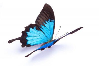 Poster Blu e colorata farfalla su sfondo bianco