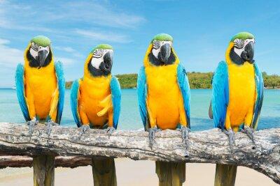 Poster Blu e oro Ara sulla bella spiaggia tropicale e mare