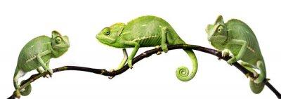 Poster camaleonte - Chamaeleo calyptratus su un ramo