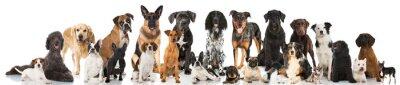 Poster Cani di razza