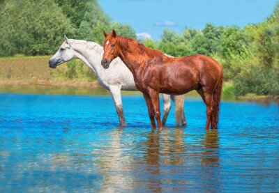 Poster cavalli