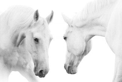 Poster cavalli bianchi