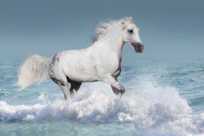 Poster Cavallo arabo bianco corsa galoppo in onde del mare