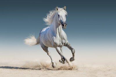 Poster cavallo bianco corsa al galoppo