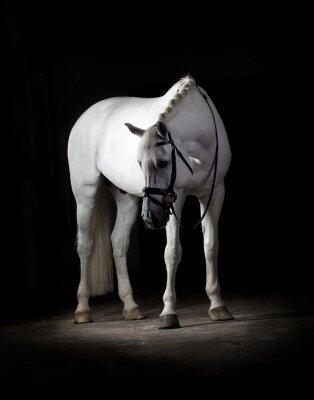 Poster Cavallo bianco su sfondo nero