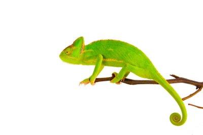 Poster Chameleon su un ramo