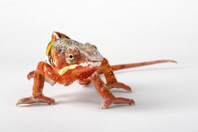Poster Chameleon su uno sfondo bianco