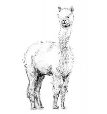 Poster Charcoal drawing lama with forelock standing and looking forward