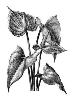 Poster Clip d'annata botanica dell'illustrazione dell'incisione dell'anturio isolata su fondo bianco