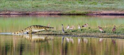 Poster Coccodrillo del Nilo nel Kruger National Park, Sud Africa