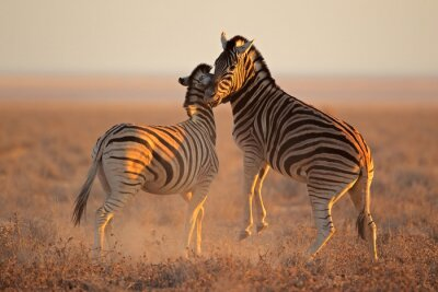 Poster Combattere pianure zebre, Parco nazionale di Etosha