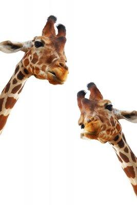 Poster Coppia di giraffe ritratto closeup isolato su sfondo bianco