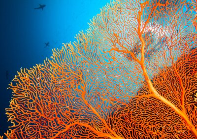 Poster Coppia di subacquei sulla barriera corallina