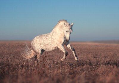 Poster corsa Cavallo bianco