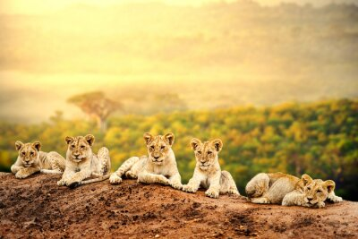 Poster Cuccioli di leone in attesa insieme.
