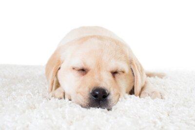 Poster cucciolo di labrador dormire su un tappeto soffice