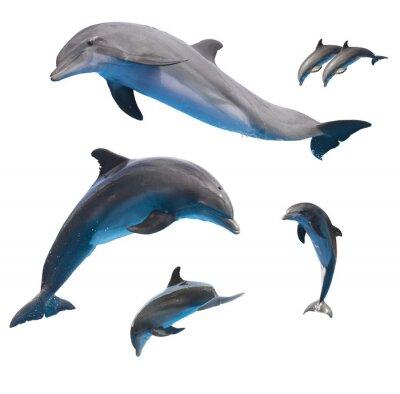 Poster delfini che saltano su bianco