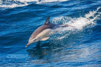Poster Delfino che salta fuori dal mare