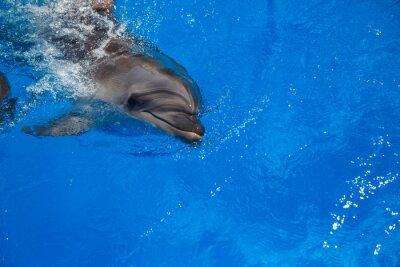 Poster Delfino sorridente. delfini nuotare in piscina