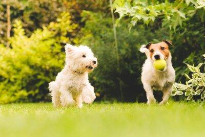 Poster Due cani che giocano con una palla.