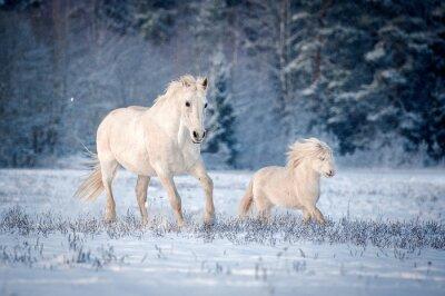 Poster Due cavalli bianchi in esecuzione sul campo in inverno