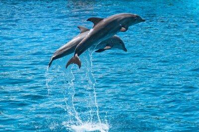Poster Due delfini che saltano sopra l'acqua blu